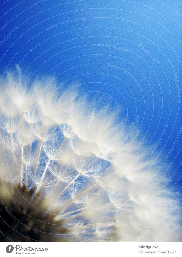 Fallschirmspringerstaffel Blume Frühling springen Löwenzahn glänzend weiß zart Sommer dunkel Gegenlicht träumen Unschärfe Denken genießen Dämmerung Pflanze Tier