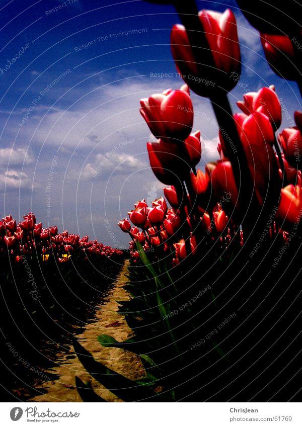 In Reih und Glied Licht gegen Tulpe Tulpenfeld rot rosa erleuchten Blume himmelblau Feld Halm Leben Agra Landwirtschaft Vielfältig Gemälde stechend Wolken