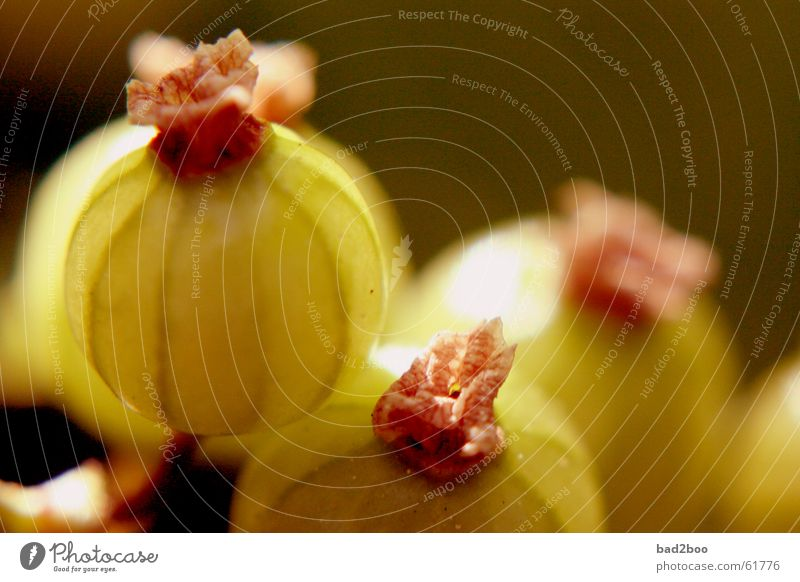 Stachelbeere Stachelbeeren Pflanze Ernährung Lebensmittel grün nah Makroaufnahme Beeren Frucht Natur berry fruit gooseberry