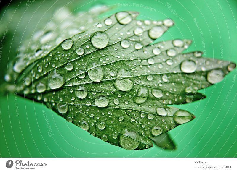 Suppenkraut Kräuter & Gewürze Wassertropfen nass Pflanze Wiese Gras grün Sommer Frühling suppenkraut lustock liebstöckl Tau Garten Ernährung