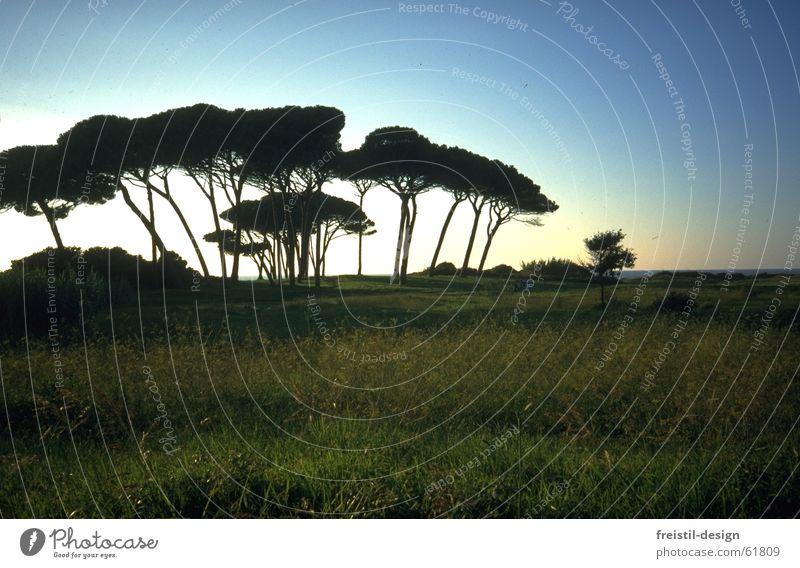 Pinien in der Toskana Italien Maremma Abenddämmerung Baum Landschaft