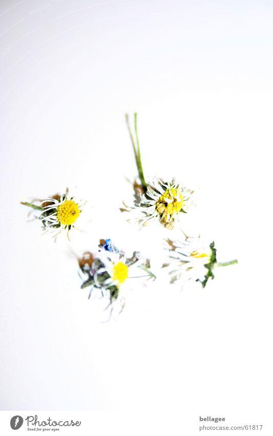 vergänglichkeit der schönheit weiß schön Blume gelb Tod 4 Ende Sturm Gänseblümchen welk verblüht Bäh Viererkette