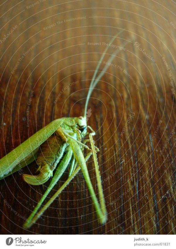 hüpft nicht mehr grün springen Holz braun Insekt hüpfen Heuschrecke
