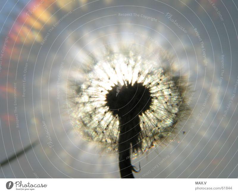 Pusteblume Löwenzahn Pflanze Licht Wolfsmilchgewächse Blüte Blume Samen Beleuchtung Himmel reflektion nah