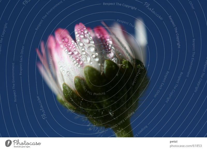Süßes Gänseblümchen Himmel Natur weiß grün blau Blume rosa Wassertropfen Stengel Tau Härchen