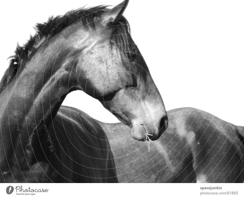 Johnny weiß schwarz Tier Pferd