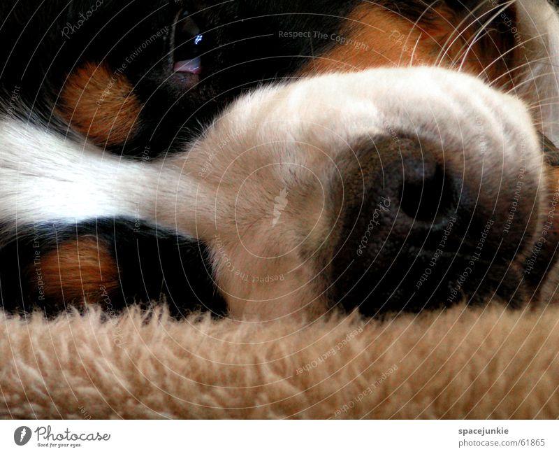 Ich bin ein fauler Sack,.. Tier Hund Nase schlafen Fell Decke Haustier verträumt Schnauze Hundekopf Berner Sennenhund