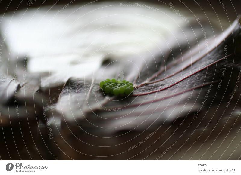 Lustige Spinneneier grün Blatt Ei Spinne Larve