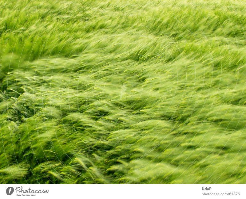 Fields of Green grün Wellen Wind Wachstum weich Getreide Mai Gerste Reifezeit