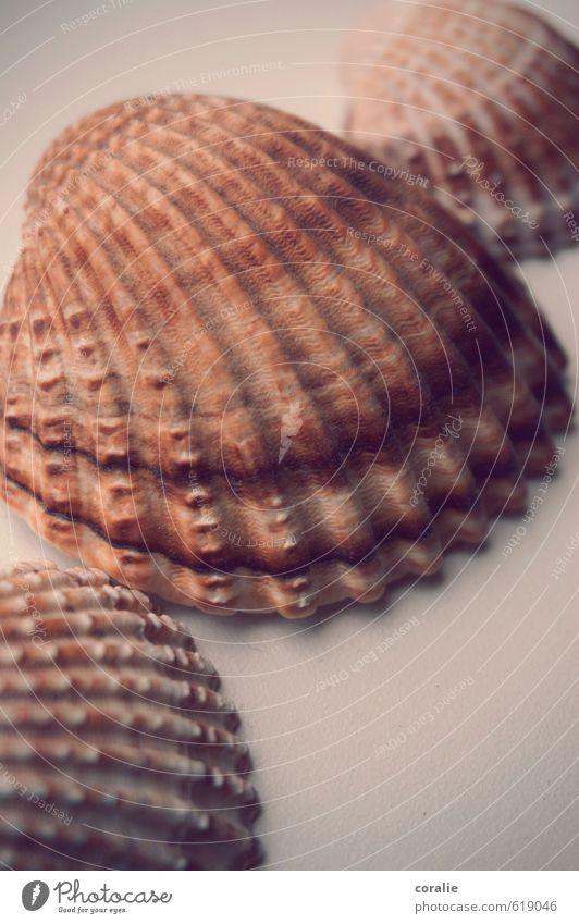 muschelei Strand Nordsee Ostsee Meer Muschel natürlich braun Strandgut Muschelform Muschelschale Ferien & Urlaub & Reisen Sommerurlaub Souvenir Streifen