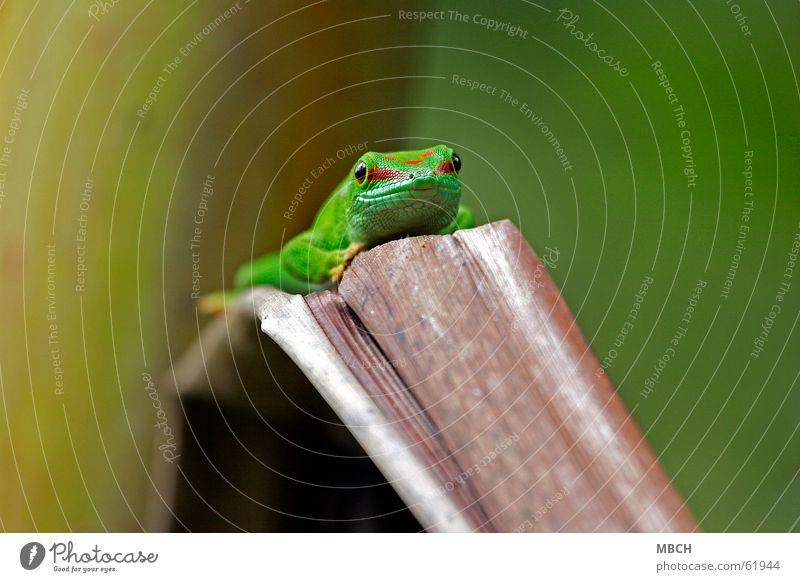 Aussichtspunkt Gecko grün rot Muster Schnauze nah braun Nasenloch Tier Blatt Madagaskar Auge streif Scheune Maul