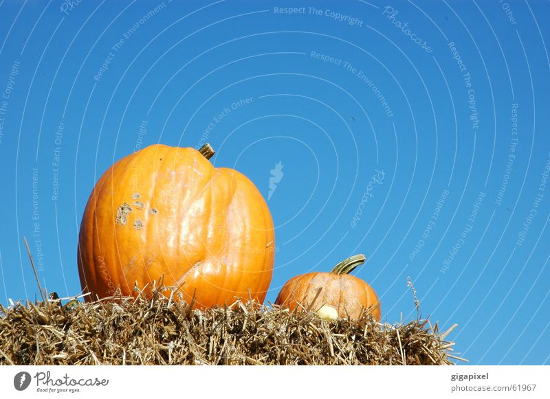 EIN Kürbis macht noch keinen Herbst ... Himmel blau Ernährung Herbst 2 orange paarweise lecker Halloween Stroh Kürbis Erntedankfest