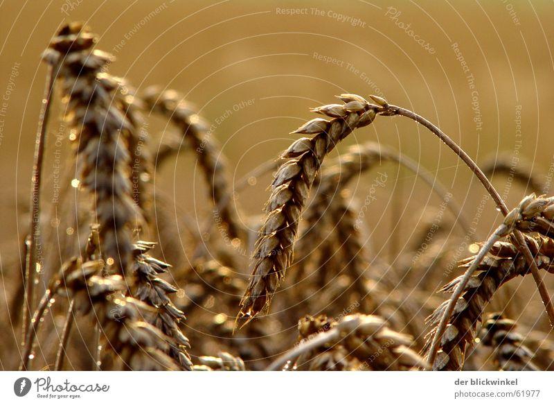 ähre wem ehre gebührt Ähren Licht Korn Getreide Detailaufnahme