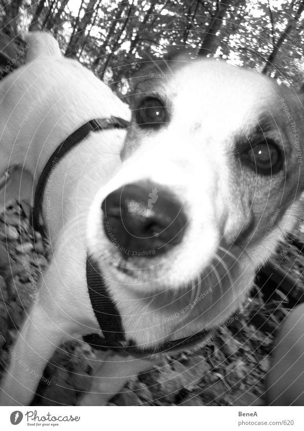 Doggie 2 Hund Terrier atmen Schnauze Tier Säugetier Freude Spielen dog jack russel Zunge Nase vierbeiner