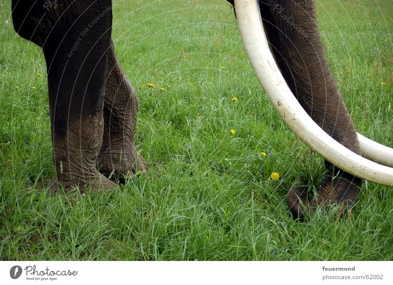 Dickhäuter Elefant Wiese Gras Tier Zirkus Stoßzähne Rüssel Safari Afrika Fressen dickhäuter cirkus Gebiss Beine Ernährung tusker tusks proboscis
