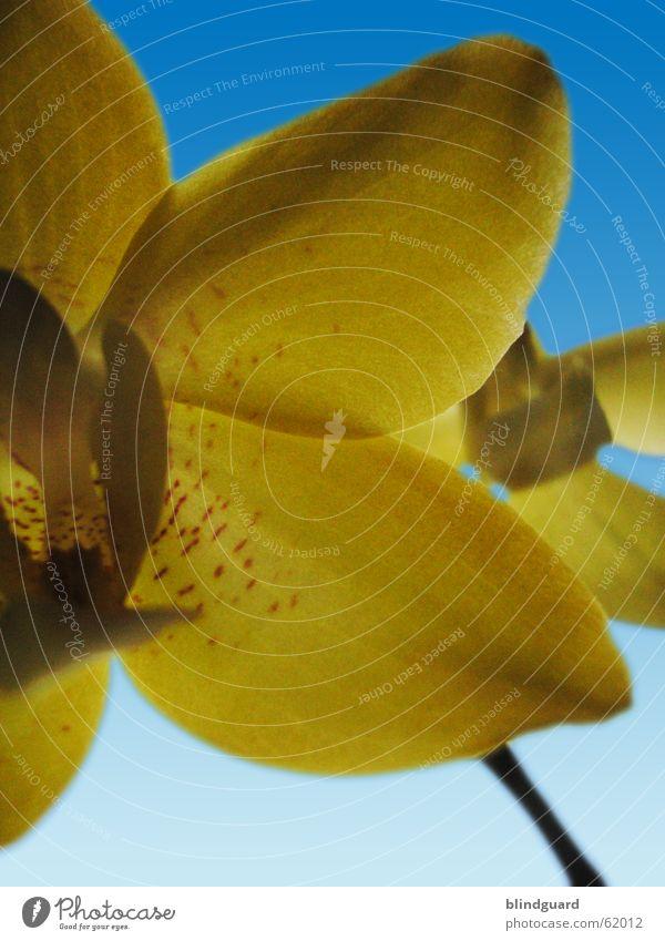 Orchidaceae Blume Orchidee gelb Blüte Himmel blau