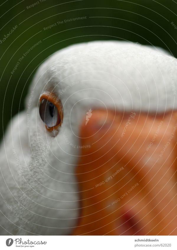 gänseauge Gans Schnabel Feder Auge Blick