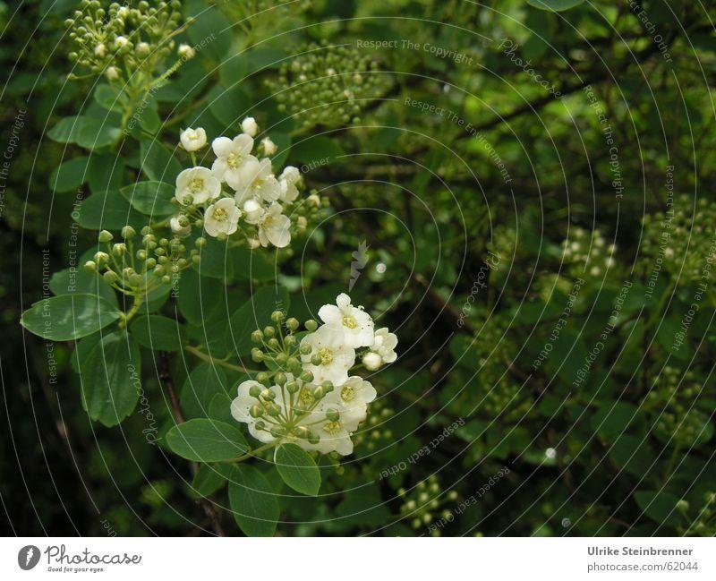 Weiße Blüten und Knospen vor dunkelgrünem Busch Farbfoto Außenaufnahme Detailaufnahme Menschenleer Textfreiraum rechts Schatten Schwache Tiefenschärfe Pflanze