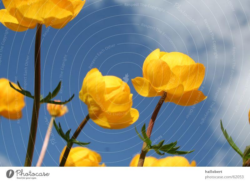 Blümchen im schönen Vogtland 01 Blume Wiese Blüte Trollblume Frühling gelbe blume
