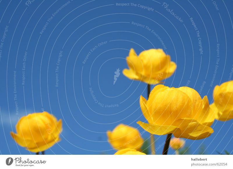 Blümchen im schönen Vogtland 02 Blume Wiese Blüte Trollblume Frühling Blauer Himmel gelbe blume