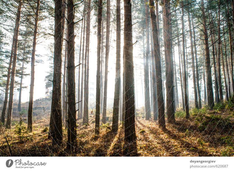 Sonnenlicht durch die Bäume am Morgen schön Sommer Umwelt Natur Landschaft Pflanze Herbst Nebel Baum Blatt Park Wald träumen hell natürlich grün Licht