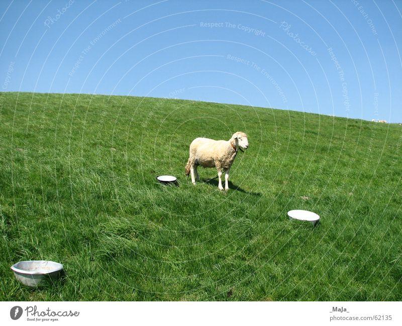 ein Schaf Wiese Gras grün Himmel Weide blau Natur Schalen & Schüsseln