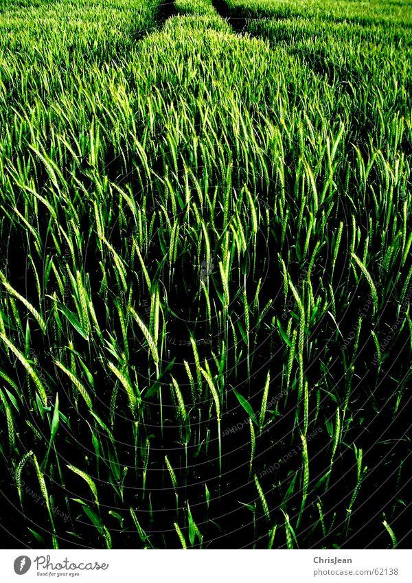 Spuren Feld Weizen grün stechend Halm Agra Landwirtschaft Ähren field Natur Getreide Amerika Ackerbau feldanbau anbauen Wege & Pfade Traktorspur