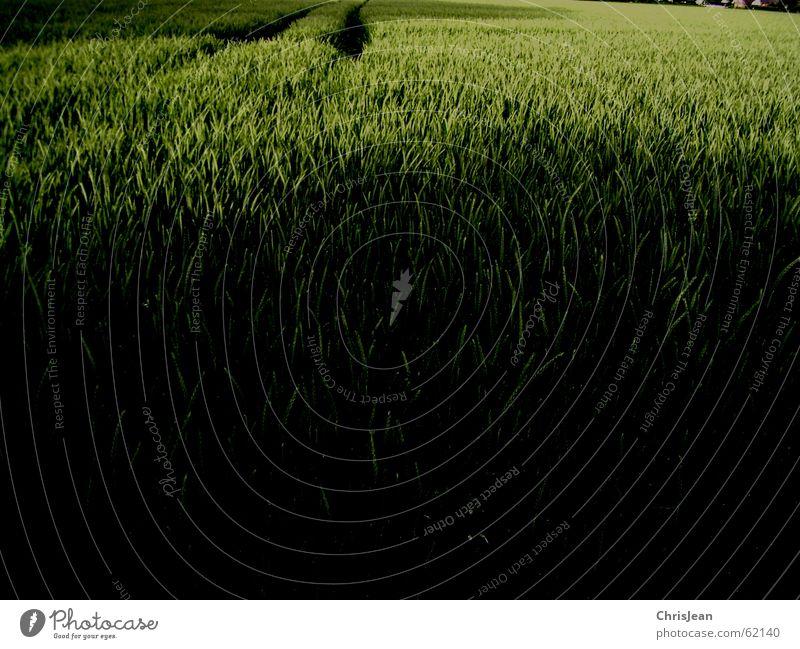 no.21 Feld Weizen grün stechend Halm Agra Landwirtschaft Ähren Spuren field Natur Getreide Amerika Ackerbau feldanbau anbauen Wege & Pfade Traktorspur