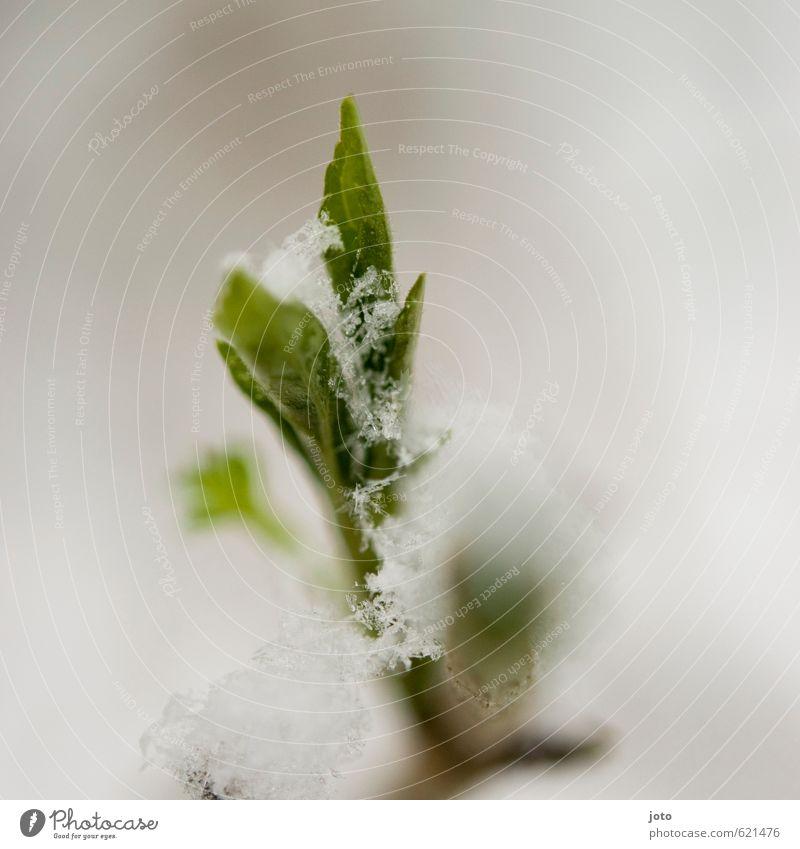 zugeschneit Natur grün weiß Pflanze ruhig Blatt Winter kalt Leben Schnee Frühling Eis Sträucher Wachstum nass Blühend