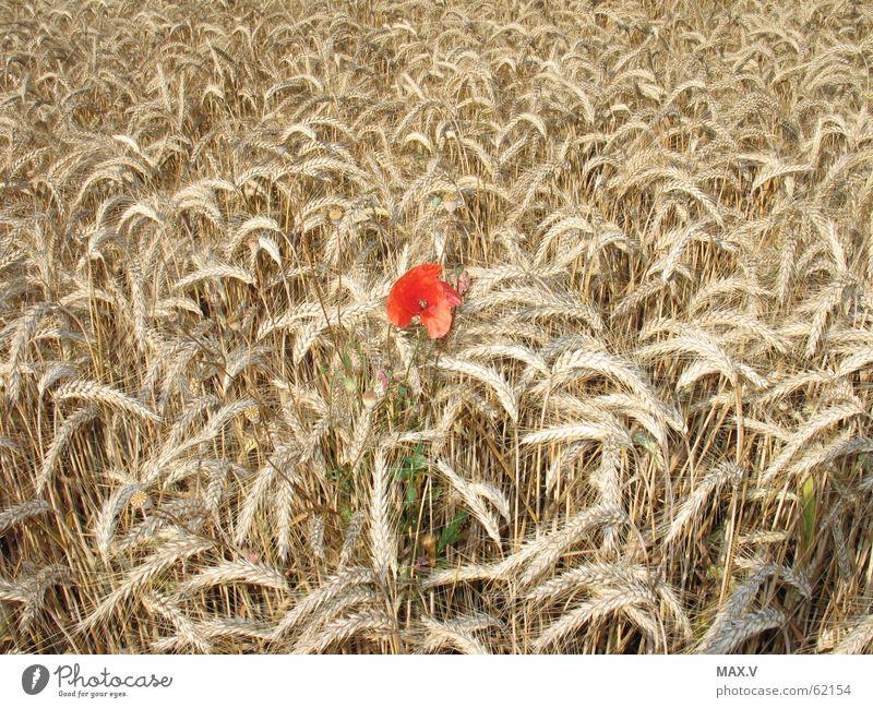 Anders Pflanze rot Sommer Blüte braun Feld Wachstum Getreide Blühend Mohn Korn Ähren Blütenblatt