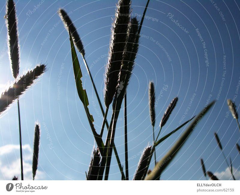 Grasgeflüster Himmel Sommer Samen Quaken