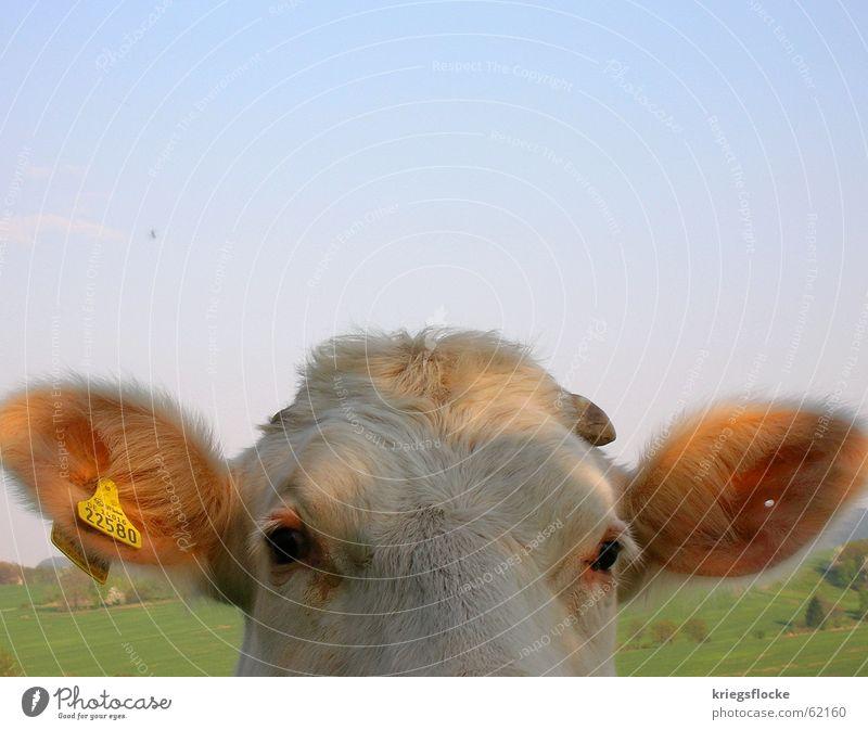 kann ich deine nummer haben? Kuh Ziffern & Zahlen Fell Tier Landleben Piercing Ohr Loch Auge Himmel Horn