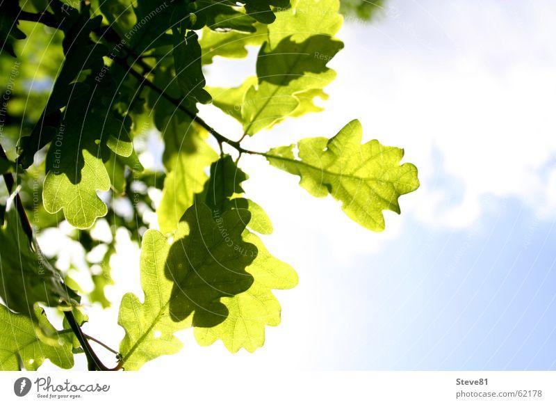 Sun Above Sommer Wolken grün Blatt Licht Luft faulenzen blau Sonne Natur Ast Freiheit