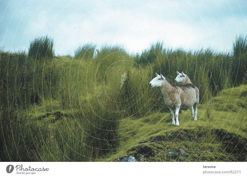 Doppelkopf Natur Tier Gras Freiheit Landschaft Landwirtschaft Schaf Alm Schottland Nutztier Schottisches Hochlandrind
