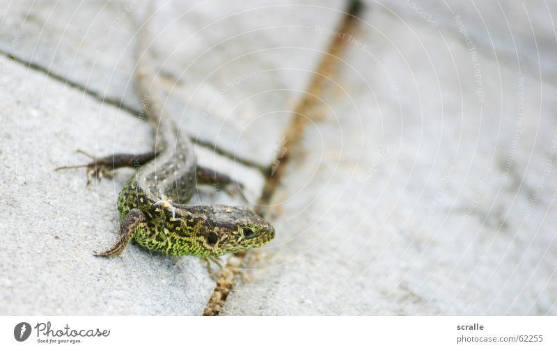 Was guckst du? grün Tier elegant tierisch Schwanz Futter scheckig Echsen Echte Eidechsen