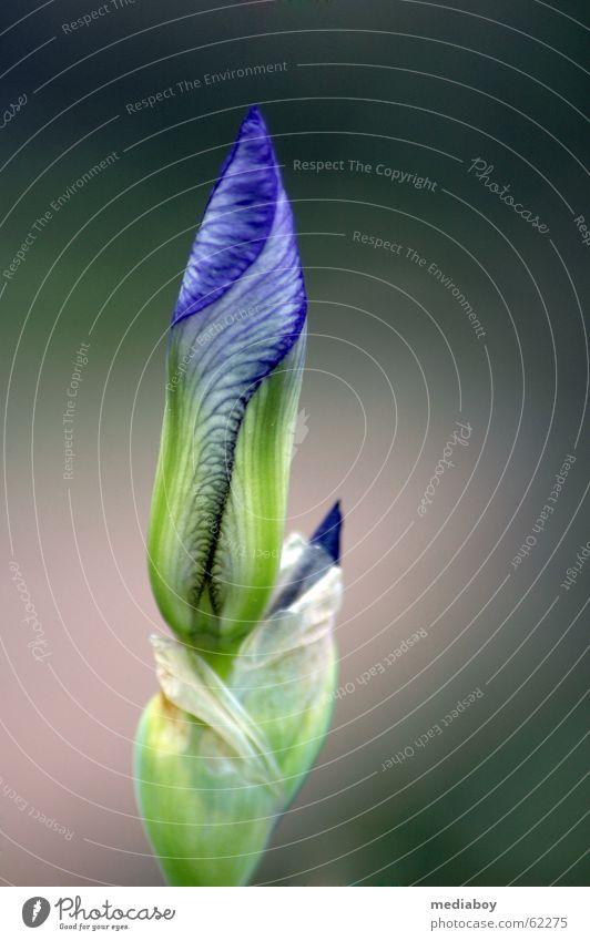 Pflanze (geschlossen) Blume grün blau Garten Angst Müdigkeit Schüchternheit Sibirien
