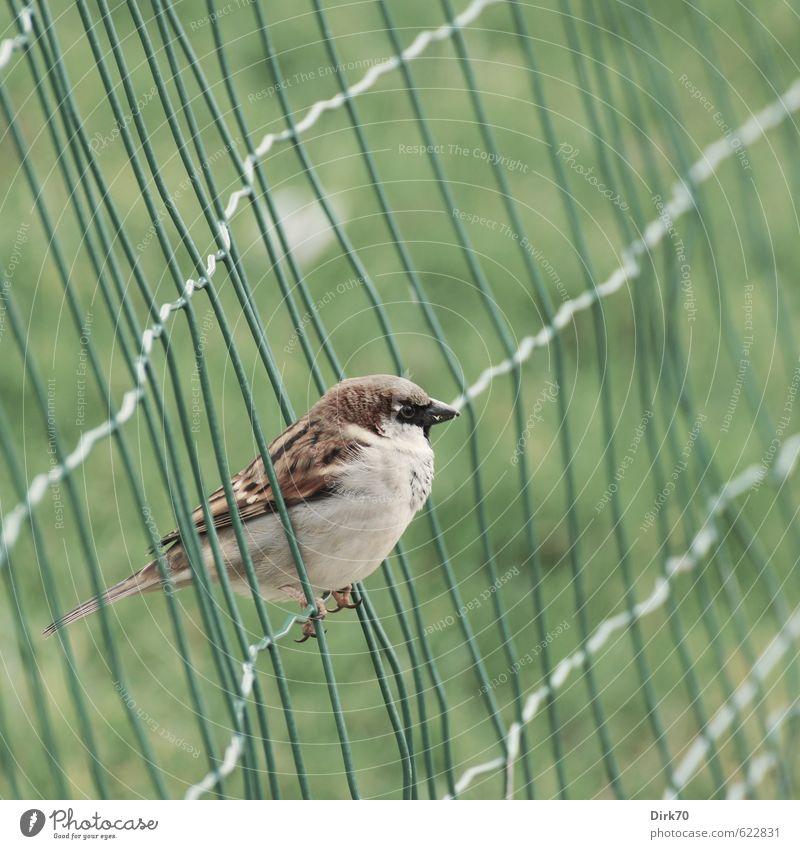Im Netz, aber frei Gras Garten Park Wiese Paris Frankreich Zaun Drahtzaun Tier Wildtier Vogel Spatz Haussperling 1 Metall Linie Netzwerk hocken frech kalt