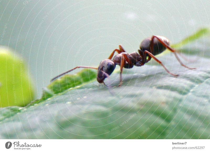 Ameisen-Makroversuch Insekt Blatt grün Natur Makroaufnahme
