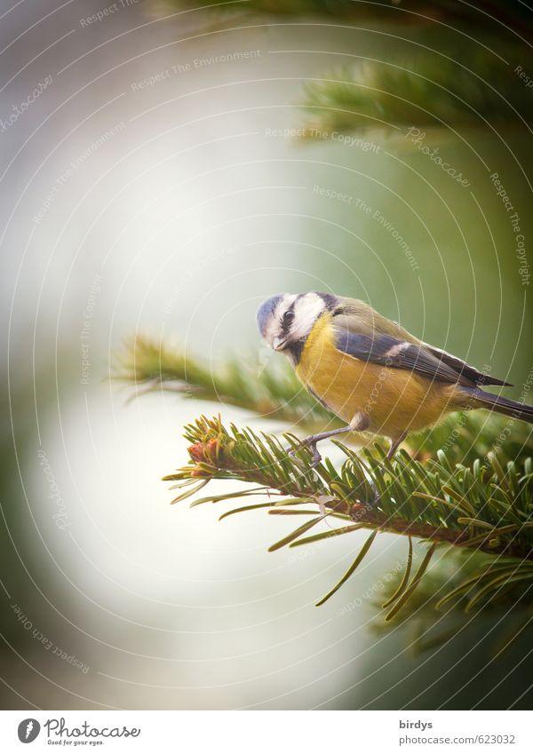 ertappt Baum Tanne Tannenzweig Vogel Blaumeise 1 Tier gebrauchen Blick ästhetisch frech listig lustig Idylle Natur Blick in die Kamera Blick zur Seite