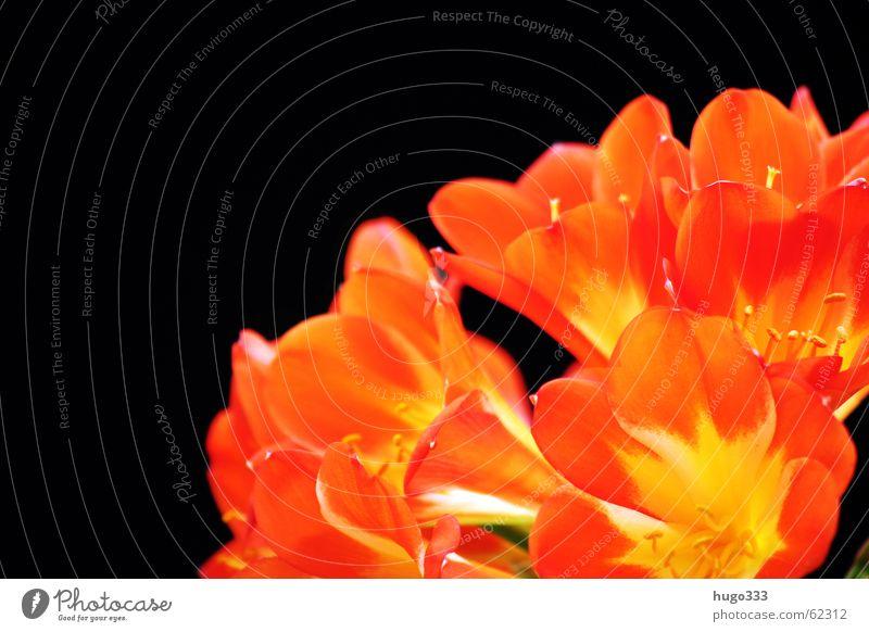 Clivia 2 Himmel rot Blume Farbe schwarz gelb dunkel Blüte orange rein zart Urwald exotisch sanft Verlauf Amaryllisgewächse