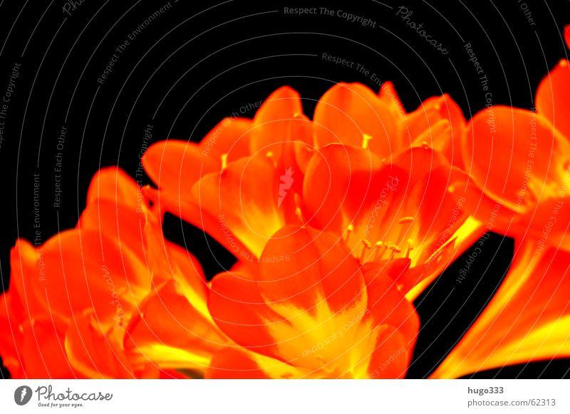 Clivia 3 Himmel rot Blume Farbe schwarz gelb dunkel Blüte orange rein zart Urwald exotisch sanft Verlauf Signal