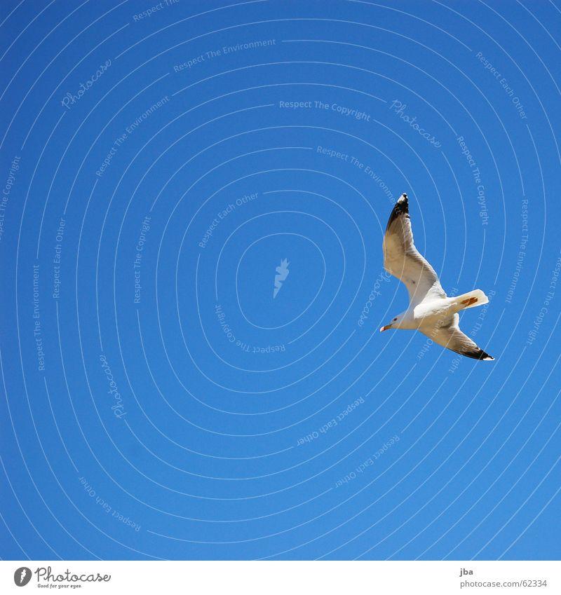 gleiten Himmel blau schön Tier Freiheit Fuß Raum Zeit fliegen frei Luftverkehr Flügel Spitze Schönes Wetter Möwe Schnabel