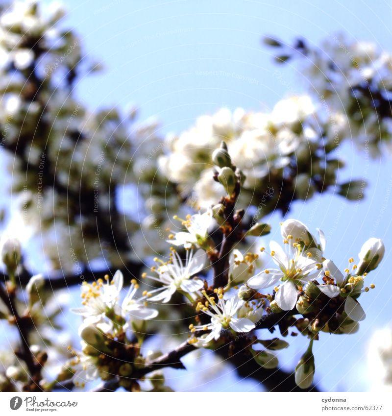 Blütentraum Himmel Natur Baum schön Freude Leben Gefühle Frühling Wachstum Sträucher entdecken Jahreszeiten Reifezeit