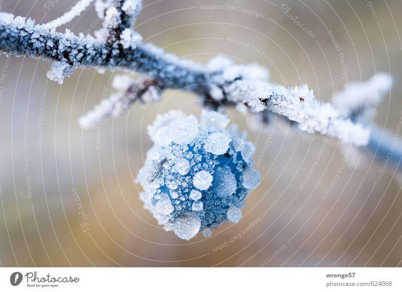 Blaue Eiskugel Pflanze Winter Frost Sträucher Nutzpflanze Schwarzdorn Schlehen groß kalt nah blau weiß Frucht Beeren Raureif Makroaufnahme Nahaufnahme