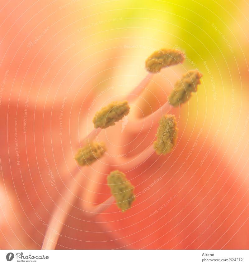 innere Werte Farbe Pflanze Blume gelb Erotik Blüte hell orange warten ästhetisch zart reizvoll exotisch Pollen Staubfäden Topfpflanze