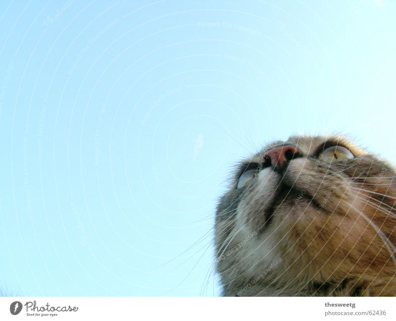 Katze Komisch Himmel Katze lustig beobachten Tiergesicht Fell Jagd Comic Schnauze Tier Schnurrhaar hypnotisch Katzenauge Katzenkopf Glubschauge Starrer Blick