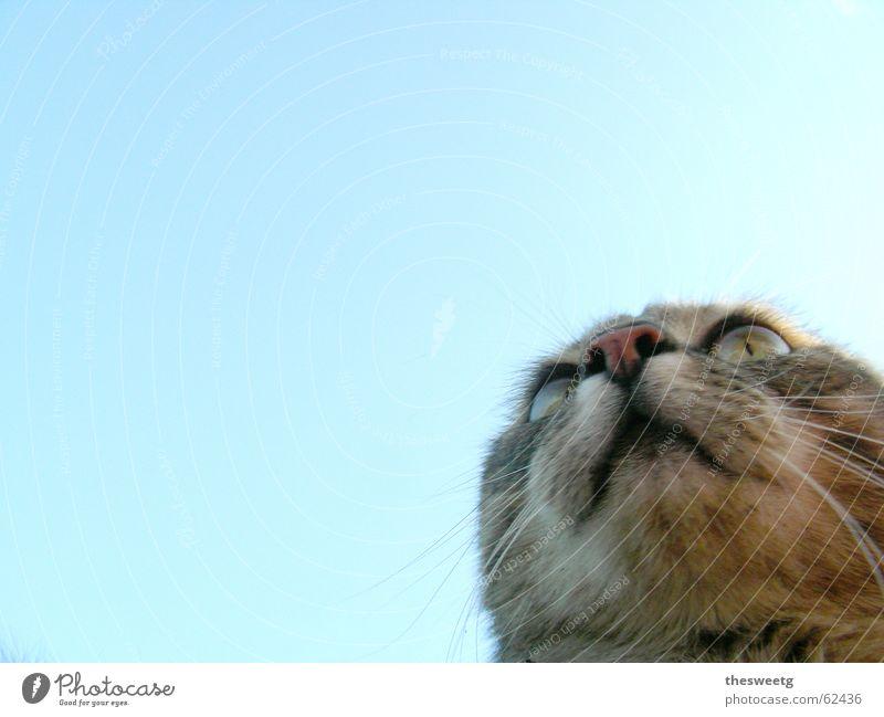 Katze Komisch Himmel lustig beobachten Tiergesicht Fell Jagd Comic Schnauze Schnurrhaar hypnotisch Katzenauge Katzenkopf Glubschauge Starrer Blick