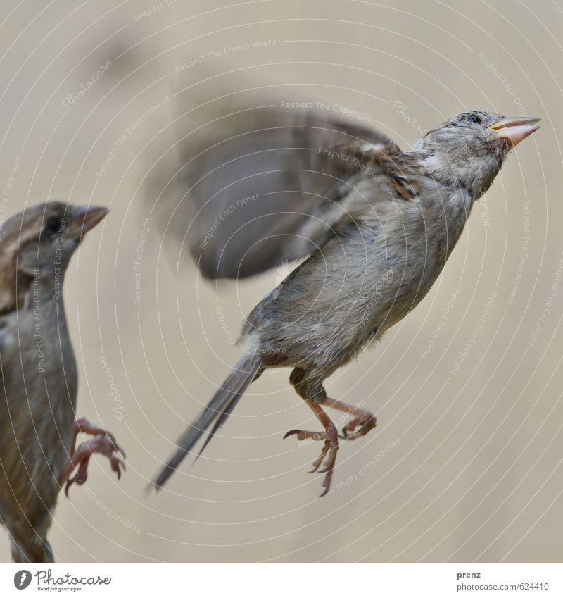 flatterhaft Umwelt Natur Tier Sommer Wildtier Vogel 1 braun grau Spatz fliegend flattern Farbfoto Außenaufnahme Menschenleer Textfreiraum unten Tag