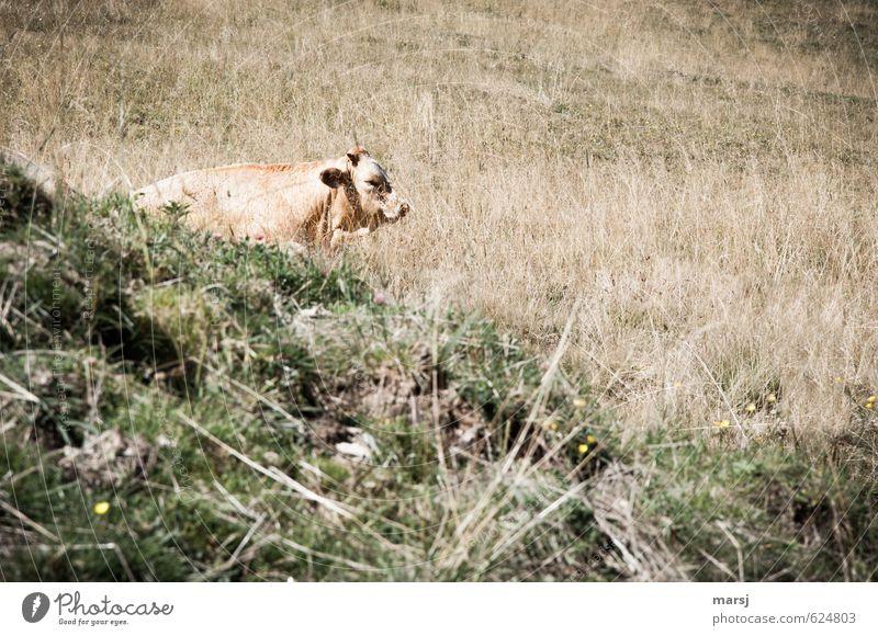 Erwischt! Natur Sommer Herbst Schönes Wetter Wärme Pflanze Gras Wiese Feld Tier Haustier Nutztier Kuh Tiergesicht 1 beobachten Erholung genießen liegen schlafen