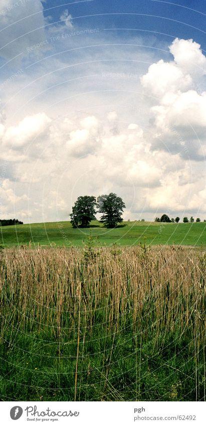 Zwei Bäume Himmel grün blau Wolken Wiese Gras Feld Schilfrohr